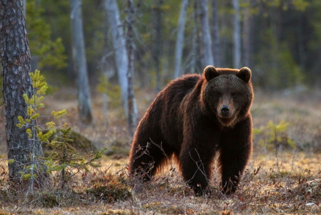 Karhu on varmimpia petoja haaskalla.