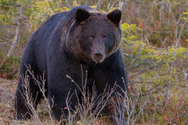 Karhukuvaus Kuusamo on paikka, jossa voi piilokojuista seurata ja valokuvata villikarhuja sekä kotkia.