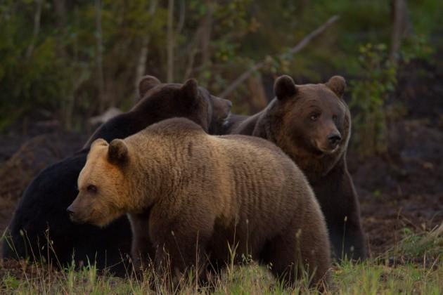 Välillä karhuja voi olla ruuhkaksikin asti.