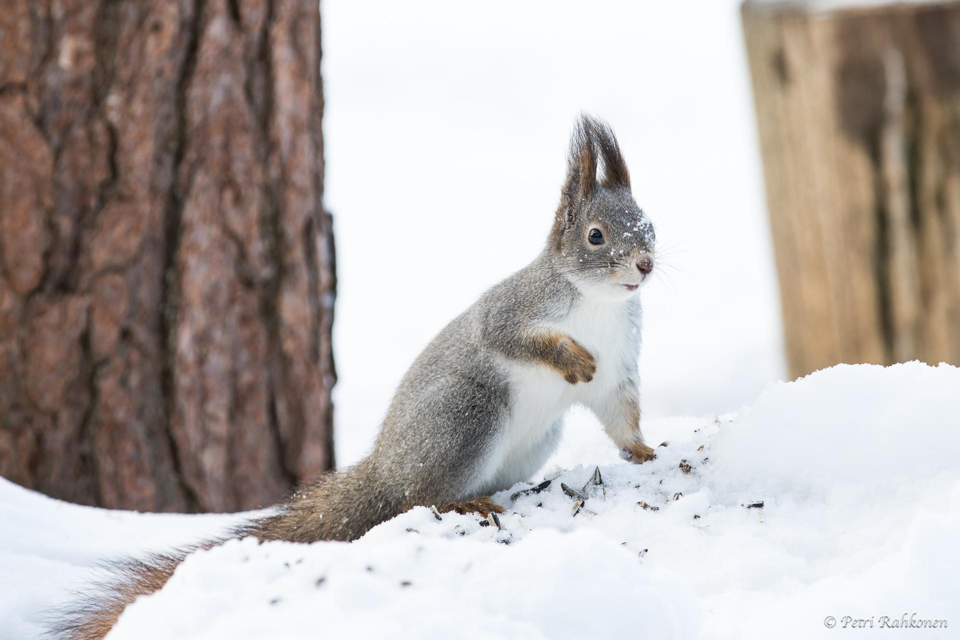 Hassu orava