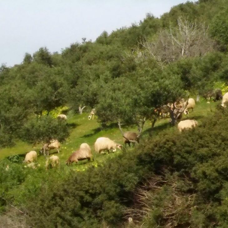 Sheeps having lunch in Ravdoucha crete katerinastravel Lue loppuun rarr