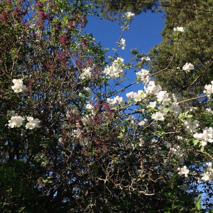 Apple trees blossoming espoo visitespoo visitfinland katerinastravel Lue loppuun rarr