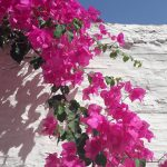 I have this obsession for bougainvillea flowers I just lovehellip