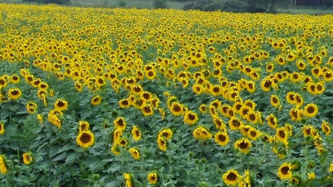 Toscanan Auringon Alla
