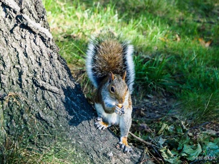 central_park_squirrel1