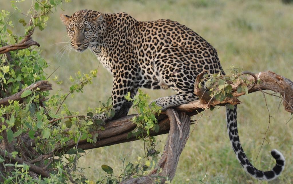 Tämän leopardin bongasin itse, upea tunne niin kuin aina ison kissaeläimen nähdessä!