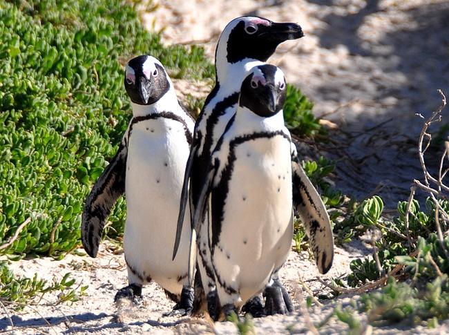Pingviinejä voi ihailla Boulders Beachillä