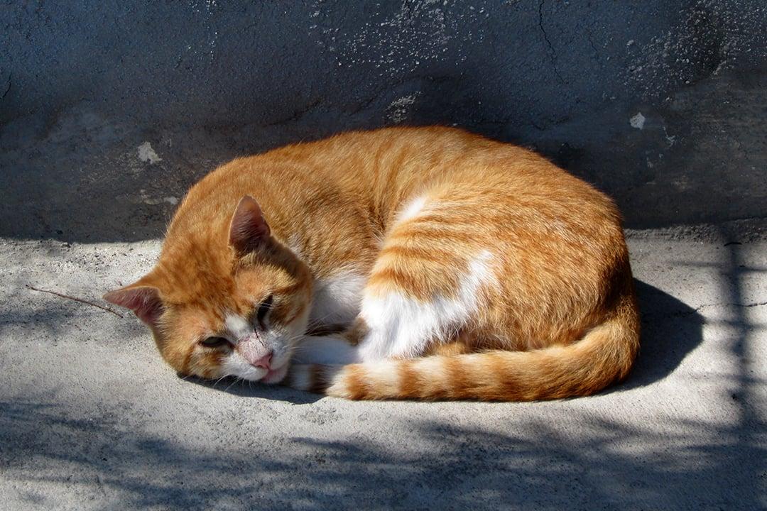Kreikkalainen kissa
