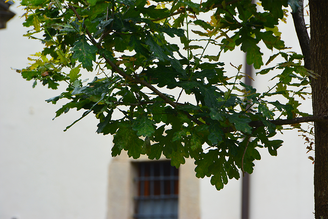 Gernikan puu