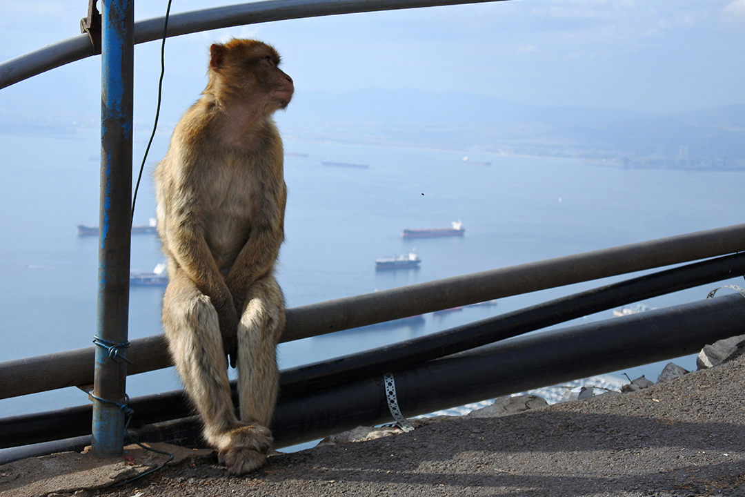 Apina Gibraltarilla