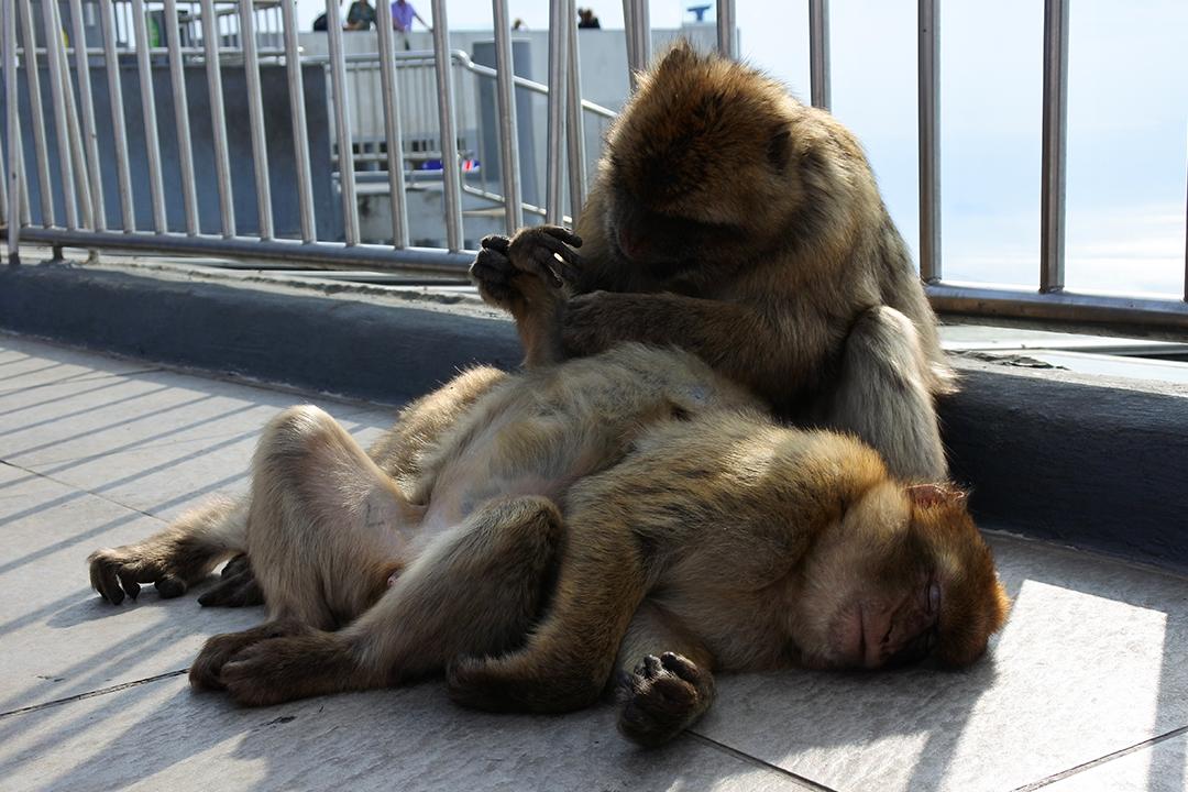 Apinoita Gibraltarilla