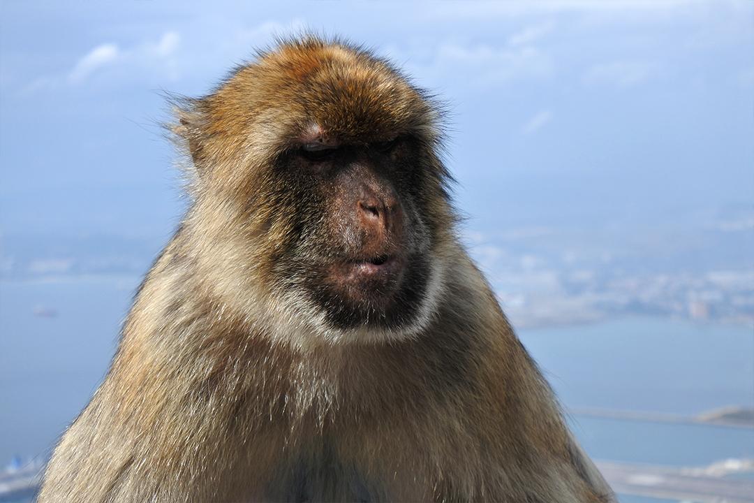 Magottiapina Gibraltarilla
