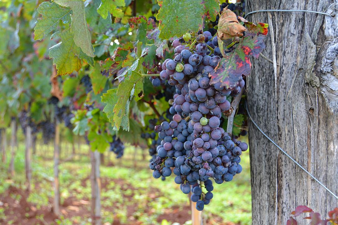 Viiniviljelmä Istriassa