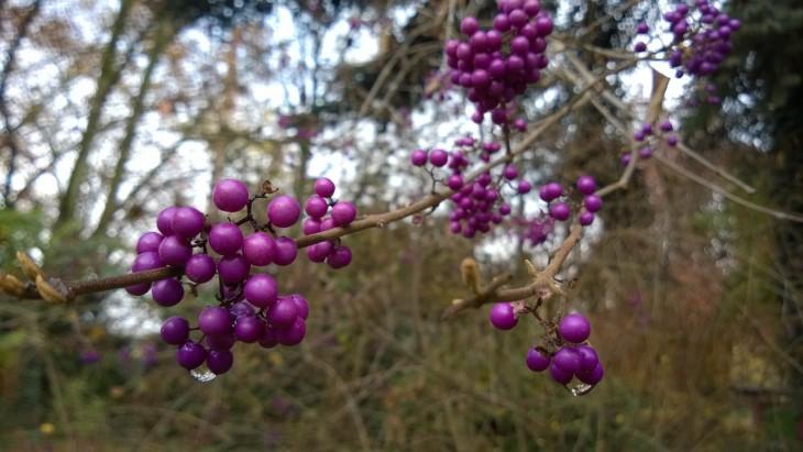 violetit marjat