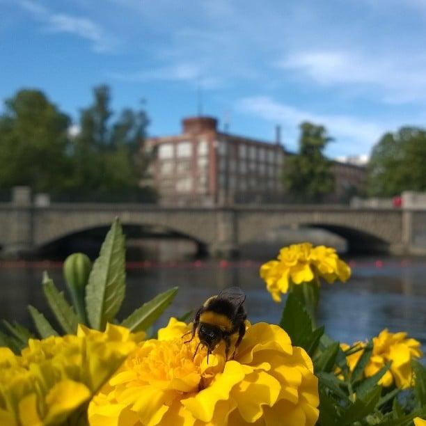 Tampere #suomenkesä #kotimaassa #Tampere #mytampere #tammerkoski #kesä #mehiläinen #visittampere #natureincity #finnishsummer #sunnyday #bee #summerflowers #bridge #brücke #Finnland #Sommer #bluesky #suomiloma #kaupunkiloma #kotimaanmatkailu