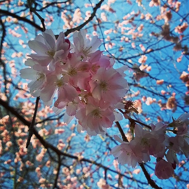 Like living in fairytale! Spring in Germany is so beautiful. #cherry blossom #cherry or I it #almond #almondblossom #spring #springflowers #beautyofnature #visitgermany #bestgermanyphotos #topgermanypics #bestofgermany #visit_NRW #bergischgladbach #naturephotography #frühling #mandel #Kirschblüte #Kirsche #ourgermany #kevät #luontokuva #lomallesaksaan #matkablogi #lempipaikkojani #IGTravelThursday #rantapallomaailmalla #blogipaviljonki