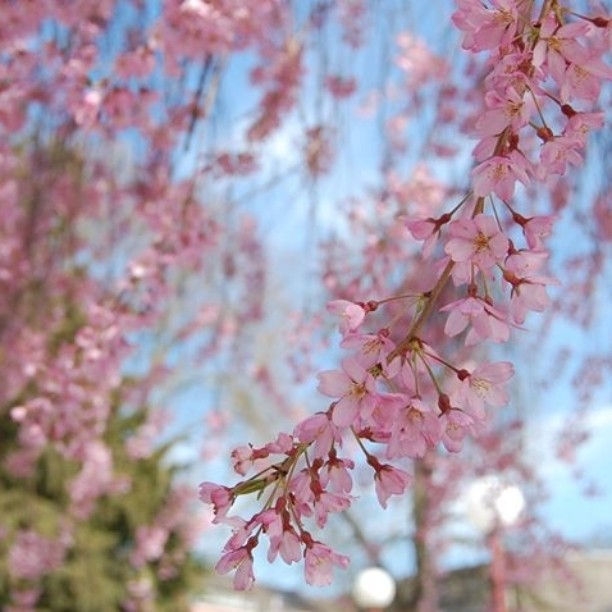 Ei näihin voi kyllästyä. Lisää kuvia kotikaupunkini kirsikkapuista blogissa. Linkki biossa. #kirsikankukka #Kirschblüte #cherryblossom