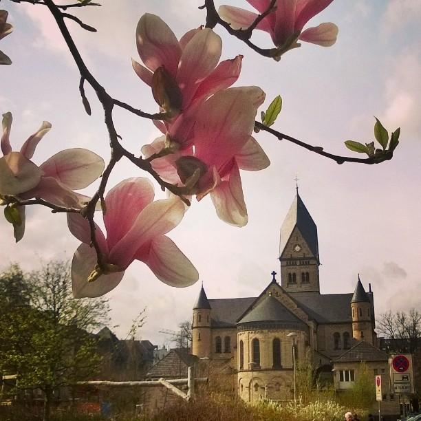 Magnolia is one of my favorite trees. Cologne, DE. #cgn #magnolia #spring #nikolauskirche #nikolausplatz #visitkoeln #IGTravelThursday