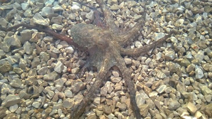 Tämän mustekalan saaliiksi meinasin jäädä Kroatiassa.