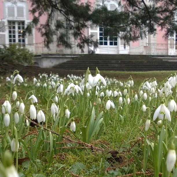 Schloss Benrath, Düsseldorf DE. Lumikelloja Benrathin linnan puutarhassa. #benrath #schlossbenrath #frühling #visitnrw #Düsseldorf #visitdüsseldorf #spring #castle #springflowers #mygermany #lumikello #saksa