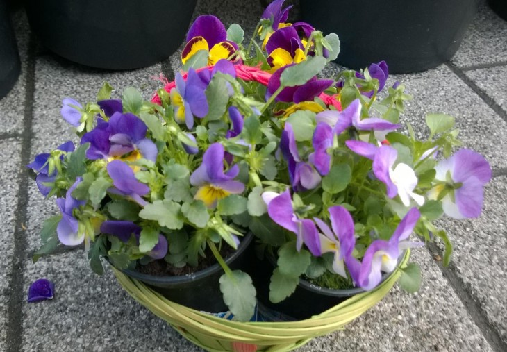 Kuopuksen valitsemat kukat päiväkotiin istutettavaksi.
