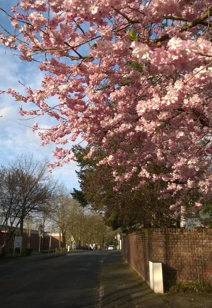 Näin upea puu on keskimmäisen koulun lähellä. Kyllä tästä alta kelpaa kouluun kulkea!