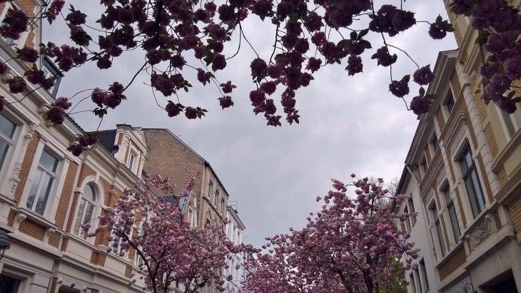 Bonn Kirschblutenfest.