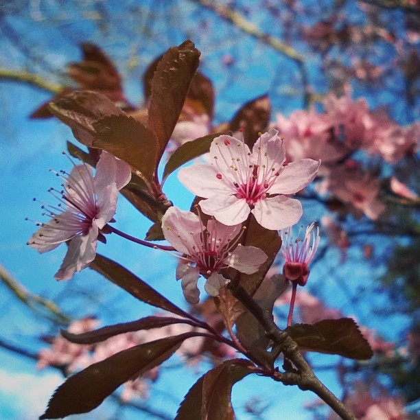 Kirschblüten, Köln Flora. #cherryblossom #Kirschblüte #Kirschblüten #sakura #kirsikankukkia #Köln #flora #botanischergarten #botanicalgarden #frühling #cgn #meindeutschland #matkablogi #lomallesaksaan