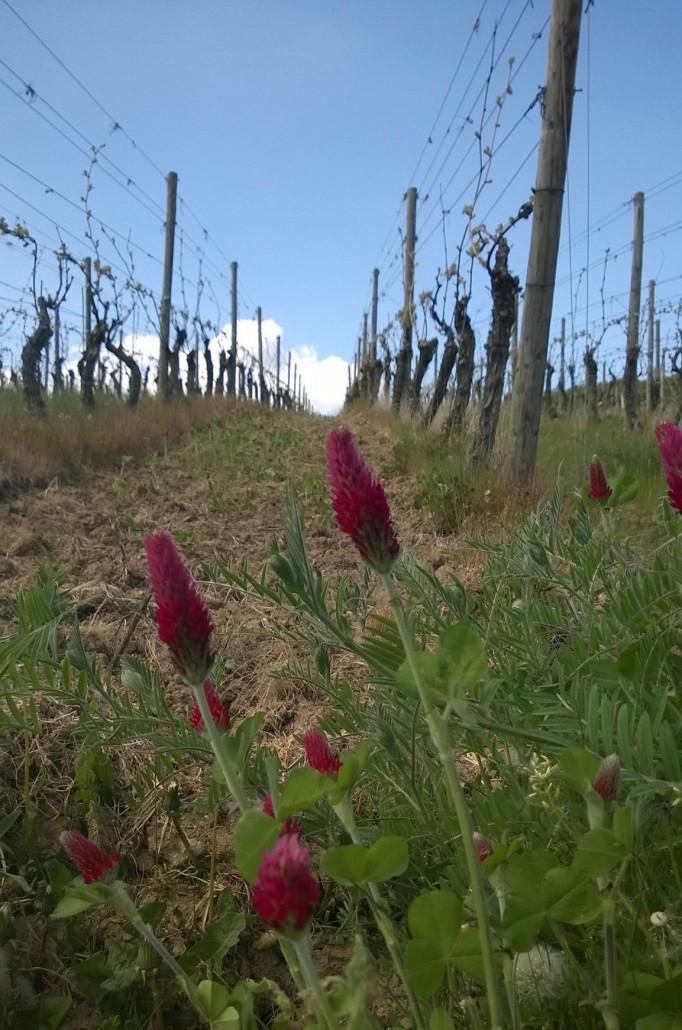 toukokuu 2016. Viinin kasvukausi on vasta alkamassa.