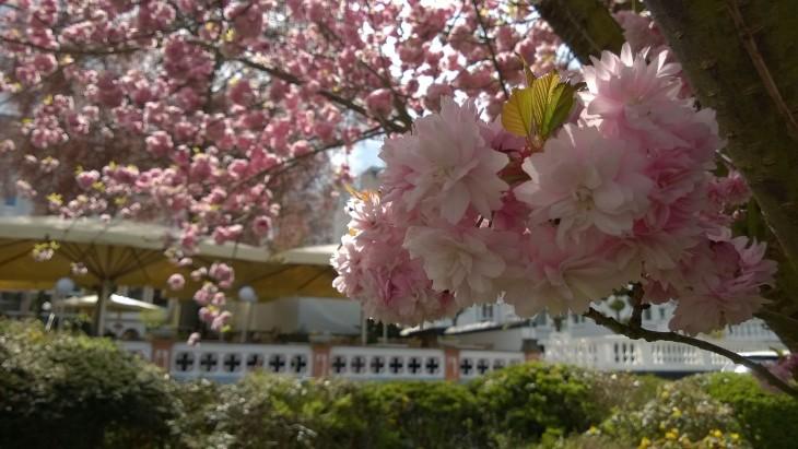 Junalla pääsee vaikka Bobbardiin kauniita kirsikankukkia ihastelemaan.