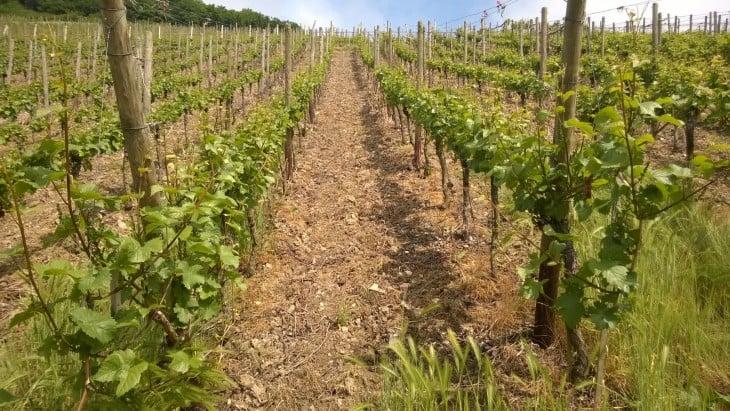 viivitilavierailun yhteydessä kannattaa ehdottomasti varata aikaa myös viinirinteillä kiertelyyn.
