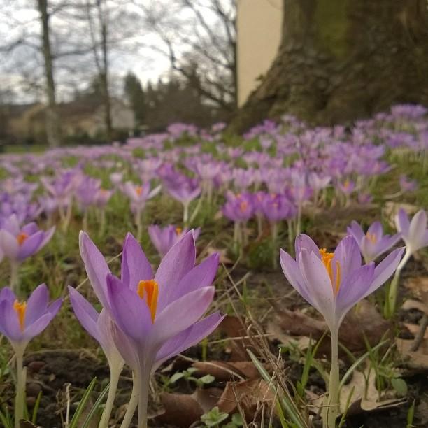Kävelylenkin piristäjät! Lempivuodenaikani on alkamassa! #helmikuu #krookus #kevätkukkia #saksa #kevät #Krokus #frühling #meinedeutschland #liebedeutschland #Blumen #Februar #spring #visitgermany #ourgermany #springflowers #beautyofnature