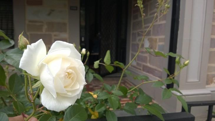 ruusut_kukkivat_adelaidessa