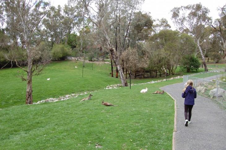 kenguruilla on isot aitaukset_eläinpuisto
