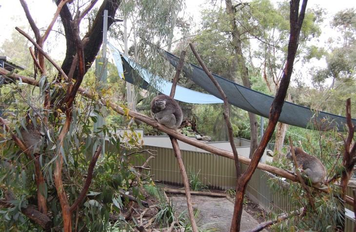 koala-aitaus_gorge_wildlifepark_australia