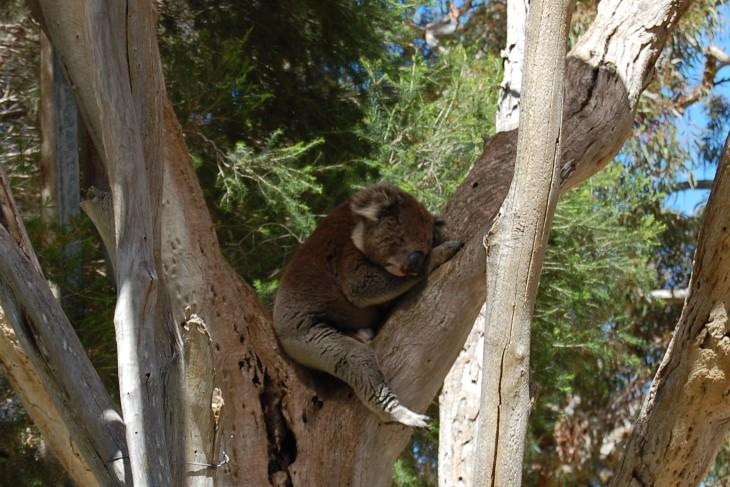 koala päiväunilla