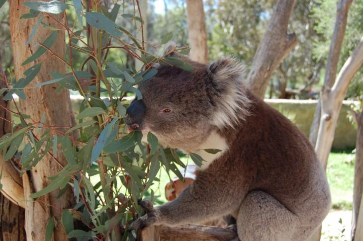 koala_urimbirra_victor Harbor