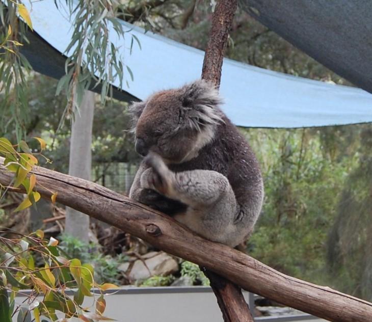 koalaa_kutittaa_gorge_wildlifepark_australia