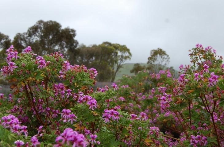 tanunda puutarha sadesäällä