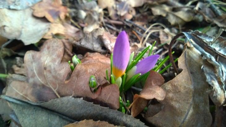 krookus kukkii helmikuussa saksassa