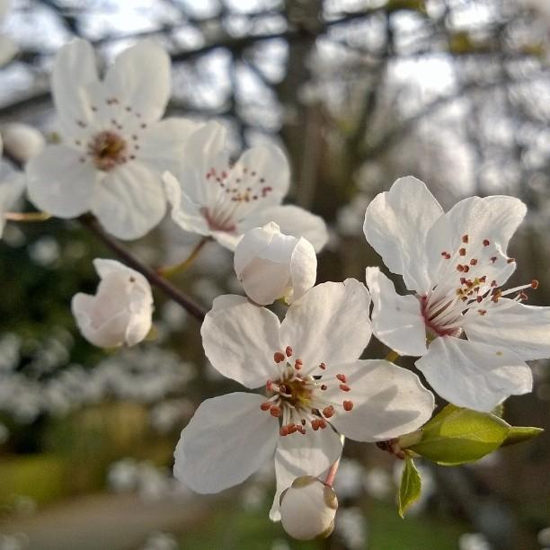 I just love spring! #almond #blossom #spring #almondblossom #Mandel #mantelipuu #mantelinkukka ##mandelblüte ##blüte #frühling #kevät #liebedeutschland #visitgermany #beautyofnature #IGTravelThursday #saksa #matkablogi