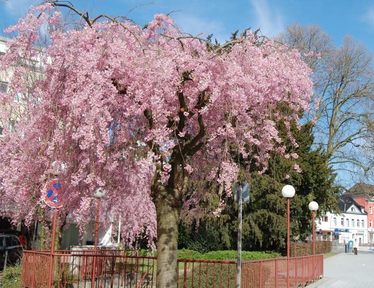 kirsikkapuu_kukassa