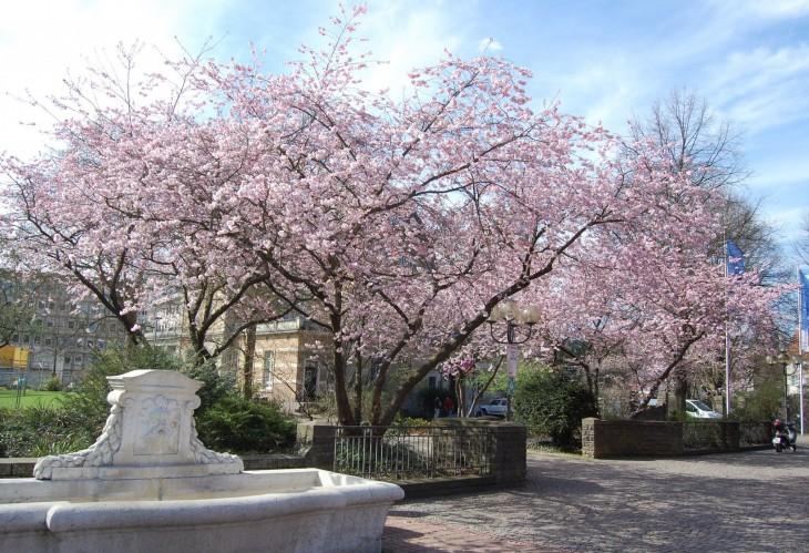 kirsikkapuut_kukassa