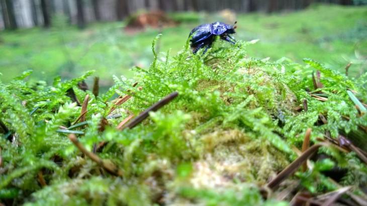 kovakuoriainen_saksa