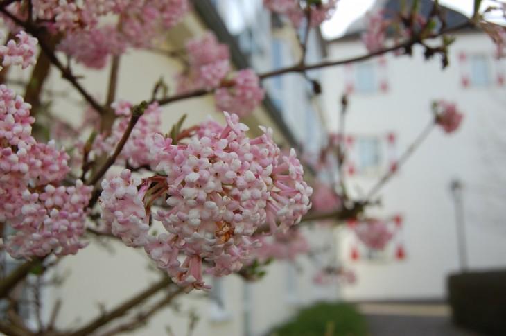 kukkapuu_saksa