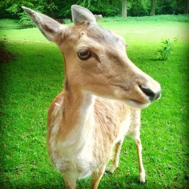 Splinen kuusipeura damwild fallowdeer tierpark Kln visitkoeln lindenthalertierpark elinpuisto visitcolognehellip