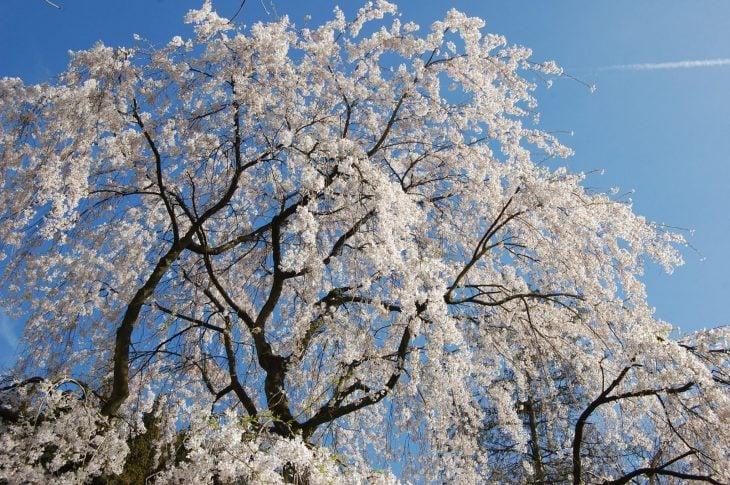Japanilainen Kirsikkapuu
