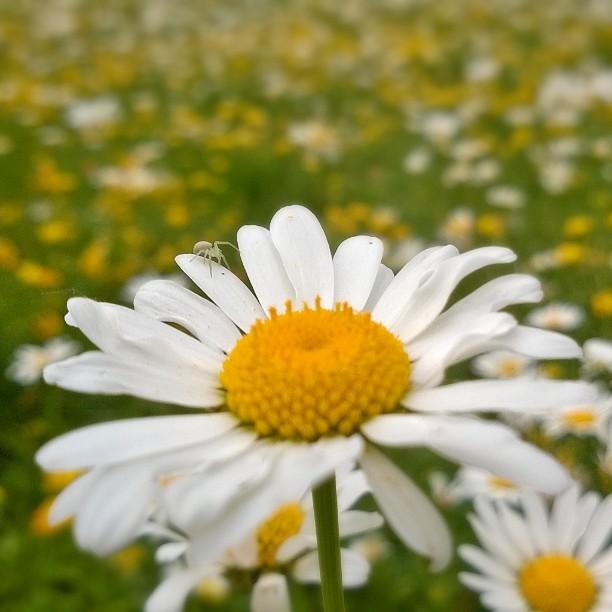 Happy Sunday! wildflowers daisies daisy pivnkakkara kukkaniitty kukkaketo saksa saksansuomalaisethellip