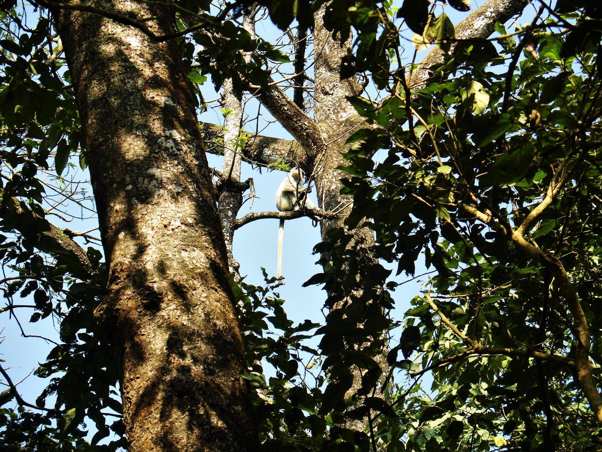 Gibbon Nepal