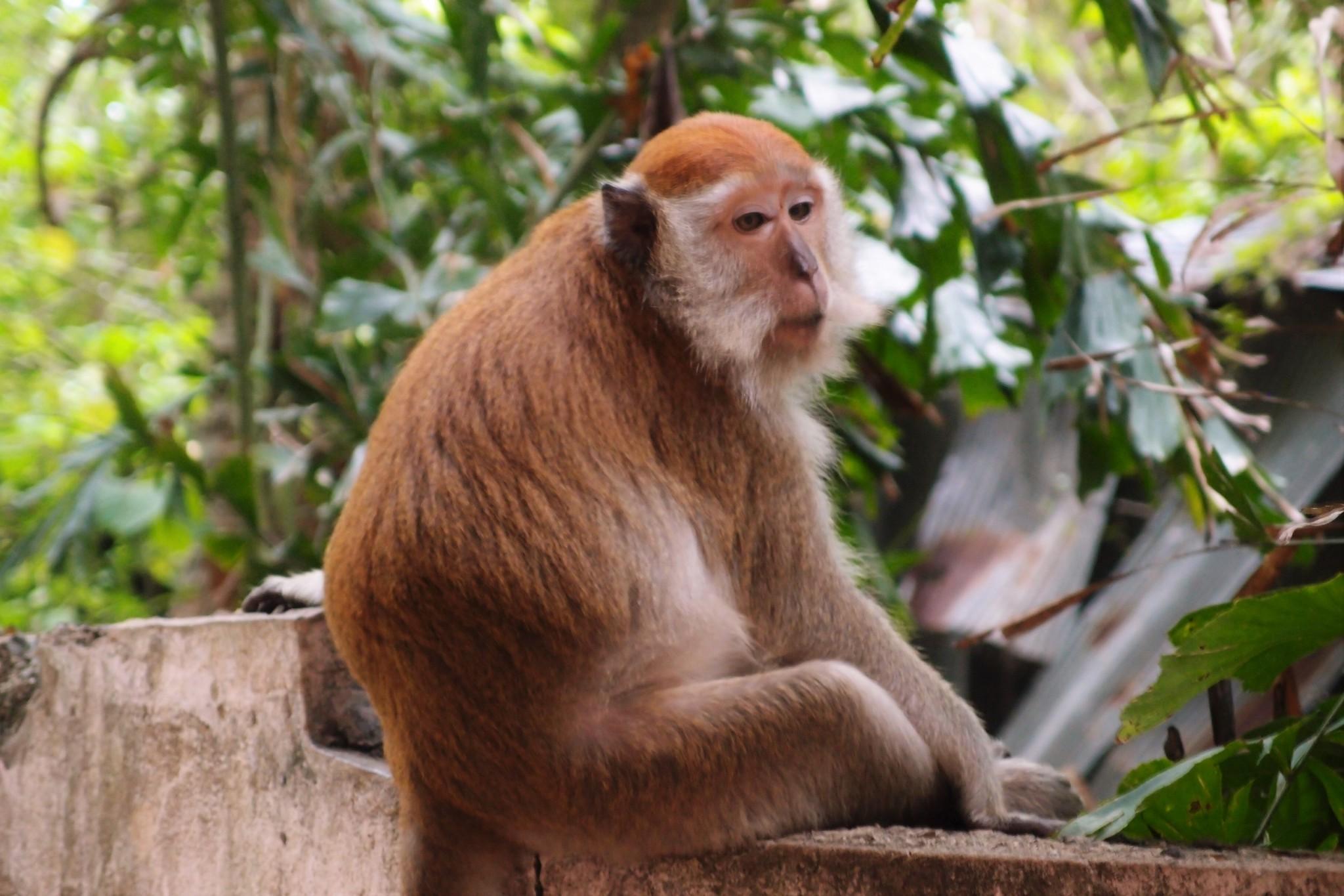 makaki Thaimaa